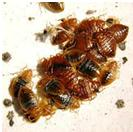 bed bug, bed bugs, bedbugs, bedbug, infestation, bed bug infestation, bed bug protection