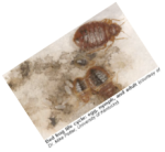 bed bug laws, bed bugs ny